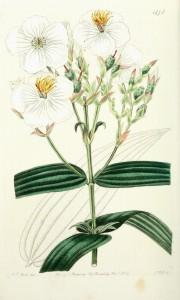 Bahove cvetne esencije